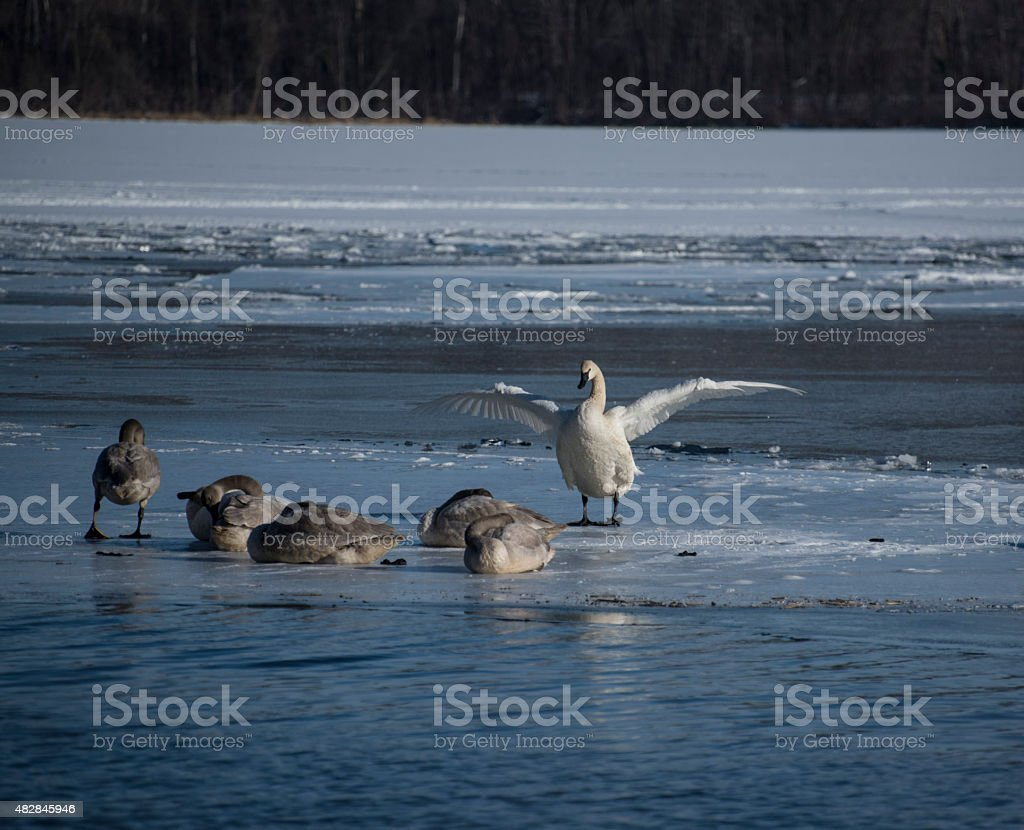 Trumpeter Swan Spreading its Wings stock photo
