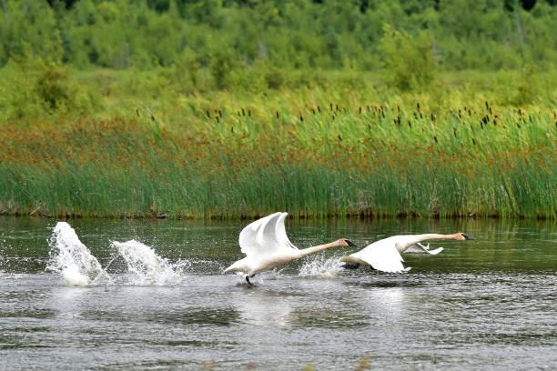 Trumpeter swan takeoff stock photo
