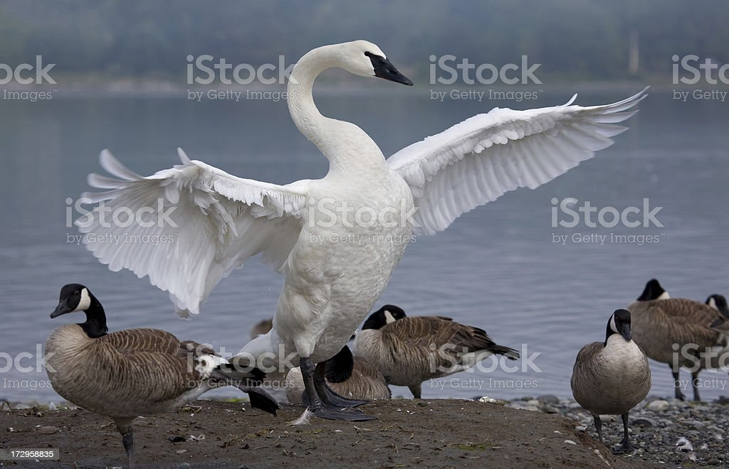 Trumpeter Swan Towering over Geese stock photo