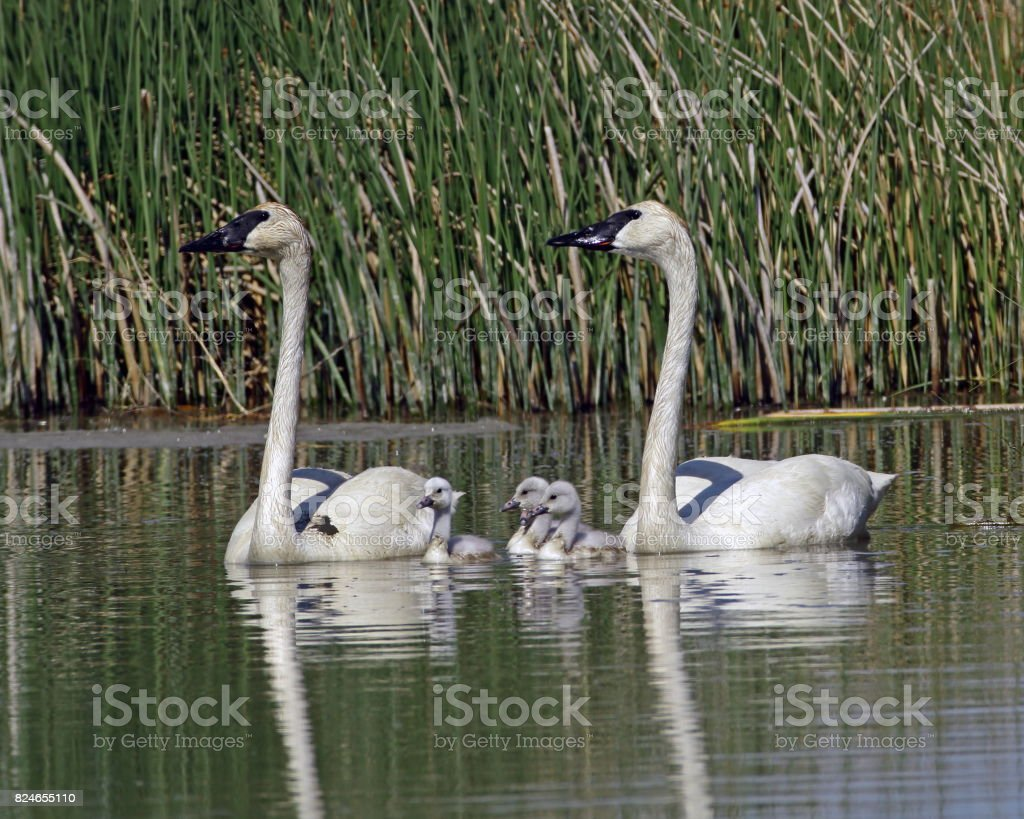 Trumpeter Swans and Cygnets stock photo