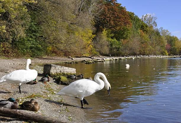 Trompeterschwäne auf den See – Foto
