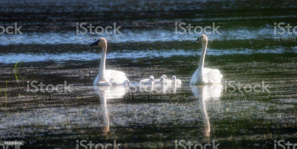 Trumpeter Swans Explore stock photo