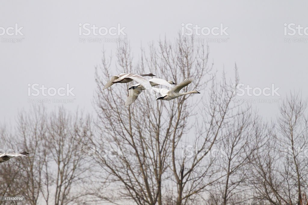 Trumpeter Swans Flying, Skagit Valley, Washington stock photo