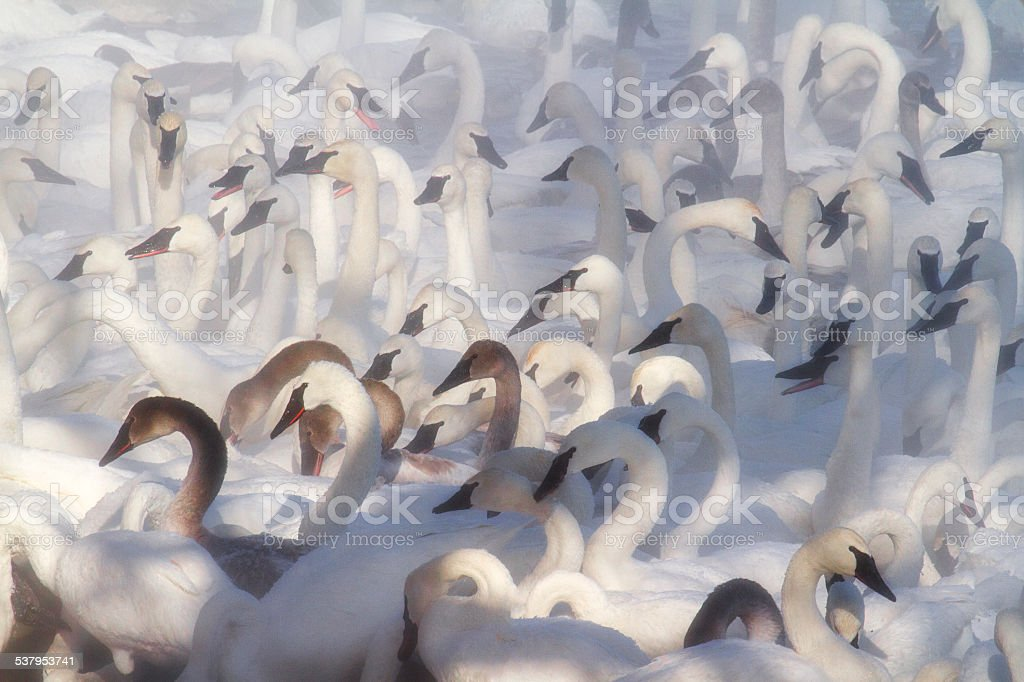 trumpeter swans gather stock photo