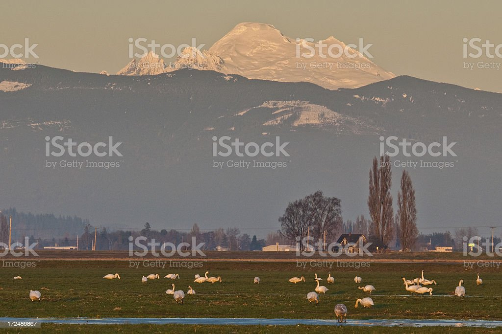 Trumpeter Swans in a Field at Sunset stock photo