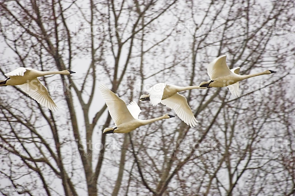 Trumpeter Swans in Flight stock photo