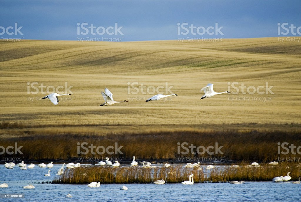 Trumpeter Swans in flight royalty-free stock photo