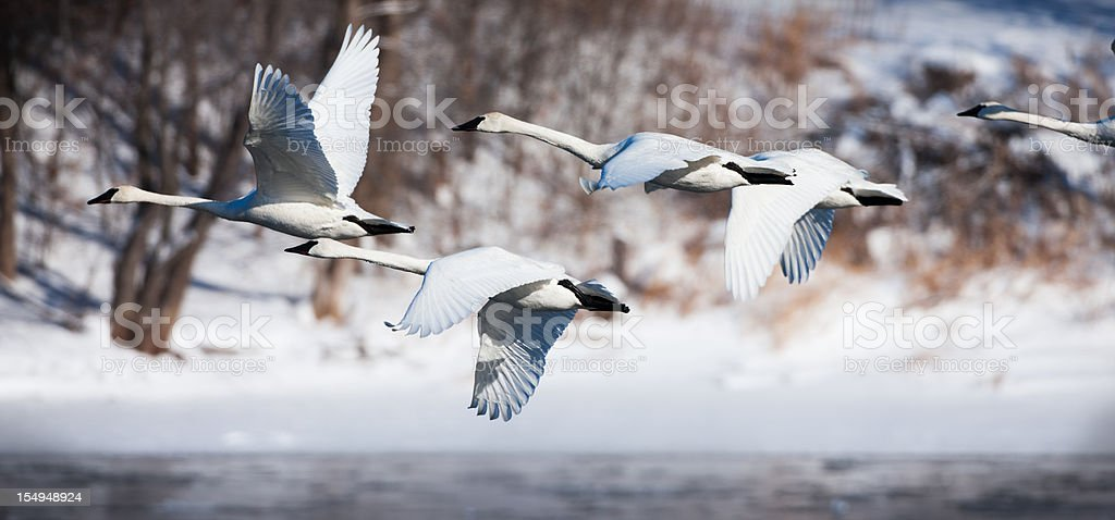 Trumpeter swans in-flight along the Mississippi river. stock photo
