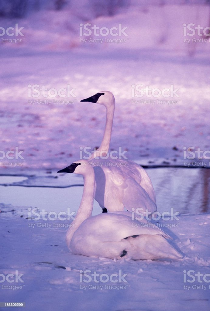 Trumpeter Swans, mating pair royalty-free stock photo