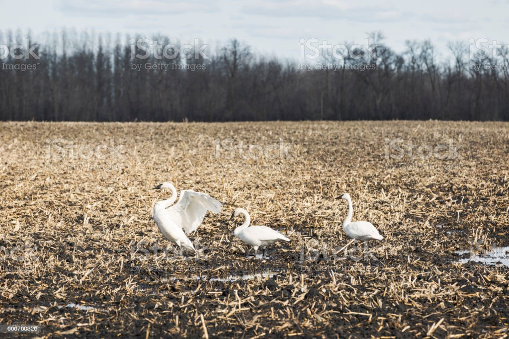 Trumpeter Swans foto stock royalty-free