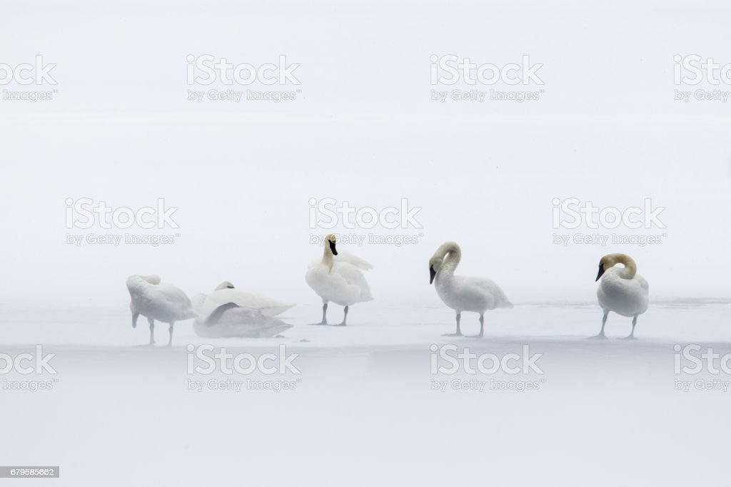 Trumpeter Swans Pruning. stock photo
