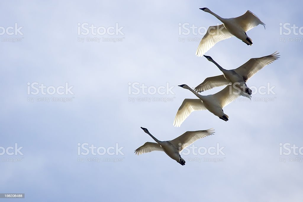 Trumpeter Swans Soaring stock photo