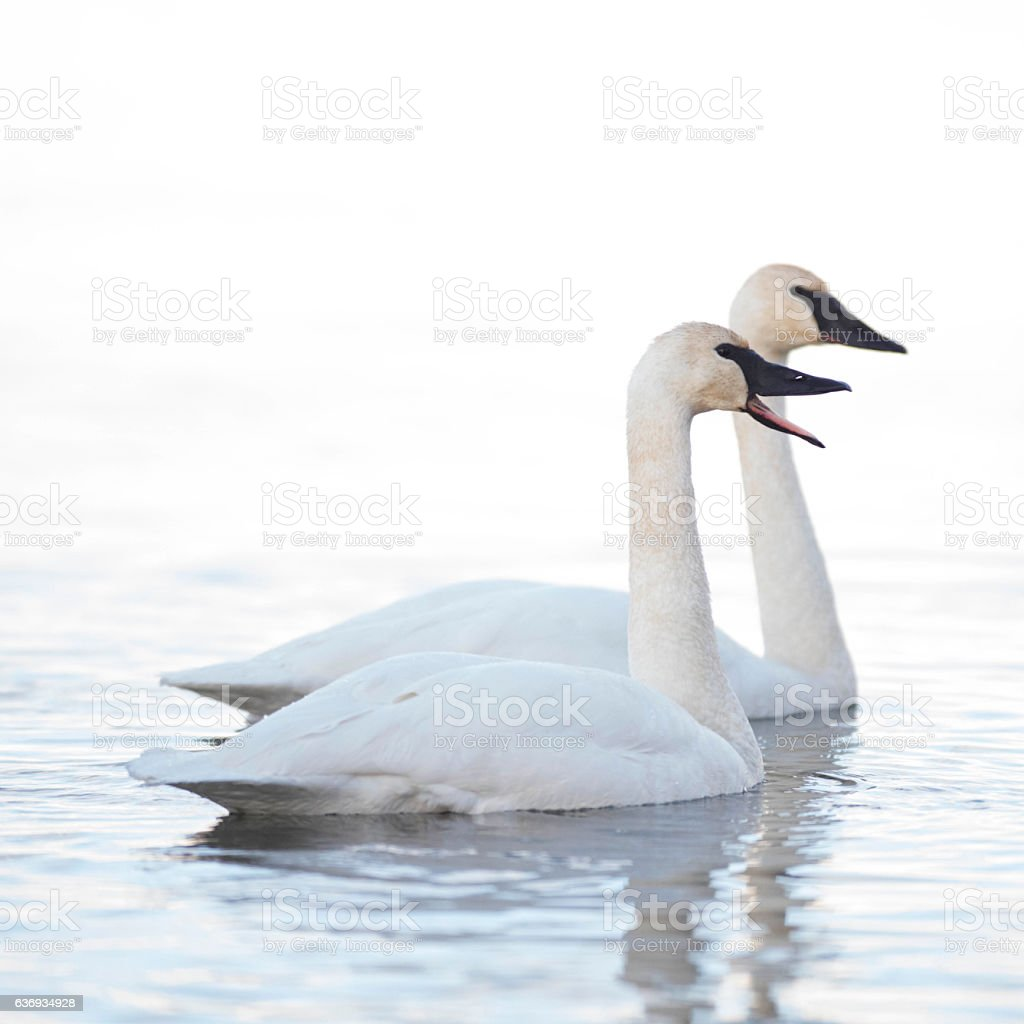 Trumpeter swans swimming against white winter background stock photo