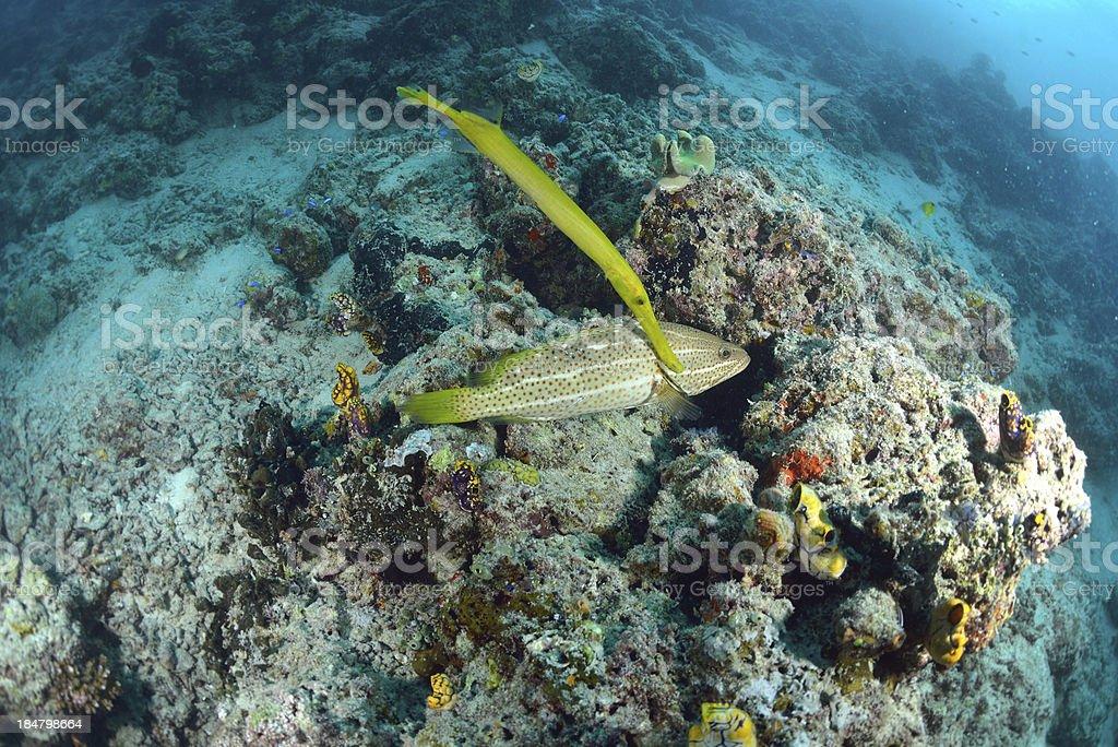 trumpetfish from the reefs of Mabul ocean, Sipadan, Malaysia royalty-free stock photo