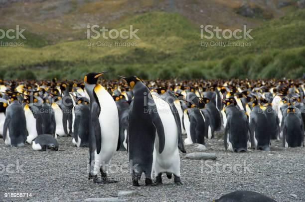 Trumpeting king penguin picture id918958714?b=1&k=6&m=918958714&s=612x612&h=qj3iydrwtlczou1 lytqhdkdyxfhbu1ebpq2eueaggm=