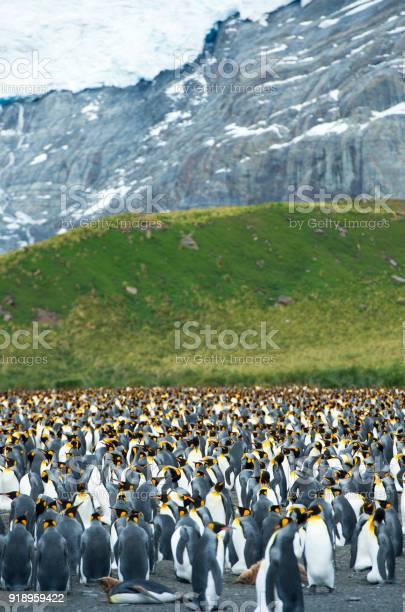 Trumpeting king penguin picture id918959422?b=1&k=6&m=918959422&s=612x612&h=cckrnndjf2ezbh9txdxiuq4emitdtfmrub6wlzn14eo=
