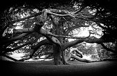 Contrasty black and white image of the trunk and some of the branches of a very old cedar tree in the misty landscape of a public park.