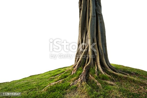 trunk and root isolated on white background