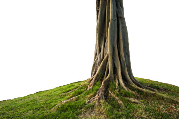 trunk isolated trunk and root isolated on white background root stock pictures, royalty-free photos & images
