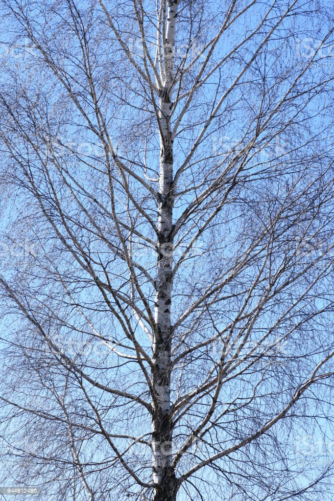 Trunk of a birch tree with branches on a sky background stock photo