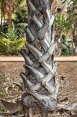 Trunk of a palm tree in a public park in Santa Cruz, the major city on the Spanish island Tenerife