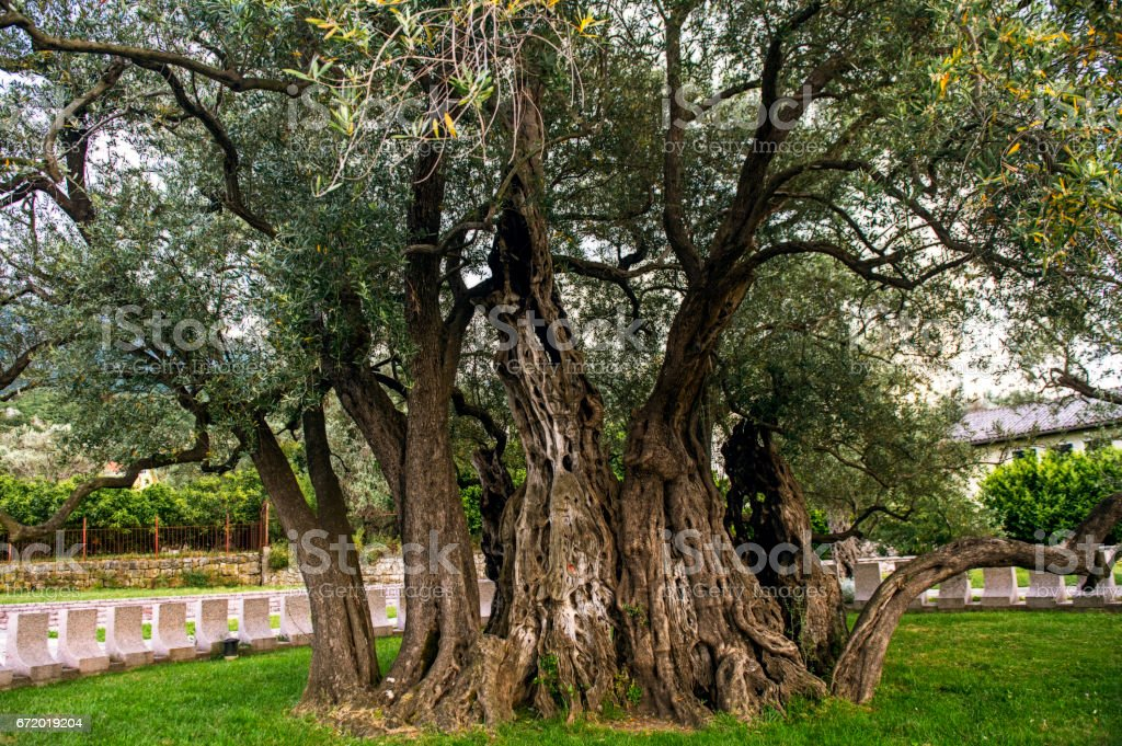 Trunk of an ancient olive tree, a beautiful texture of a tree bark stock photo