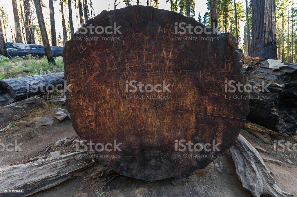 Trunk of lying Sequoia tree in California stock photo