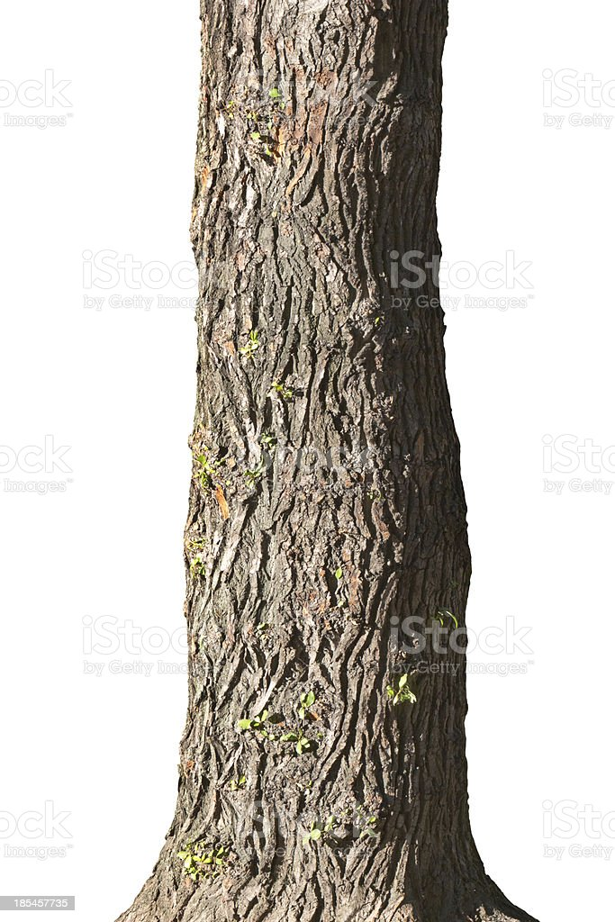 Trunk of old poplar royalty-free stock photo