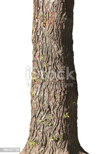 Trunk of old poplar. Isolated on a white.