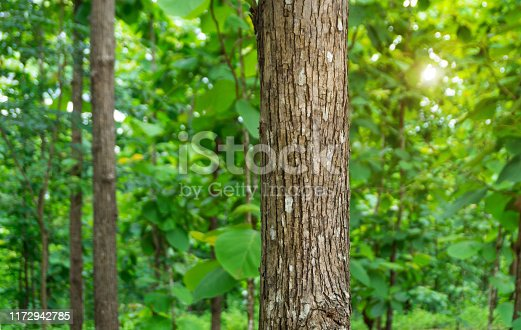 Trunk of Teak tree (Tectona grandis) is a tropical hardwood tree species placed in the flowering plant family Lamiaceae.