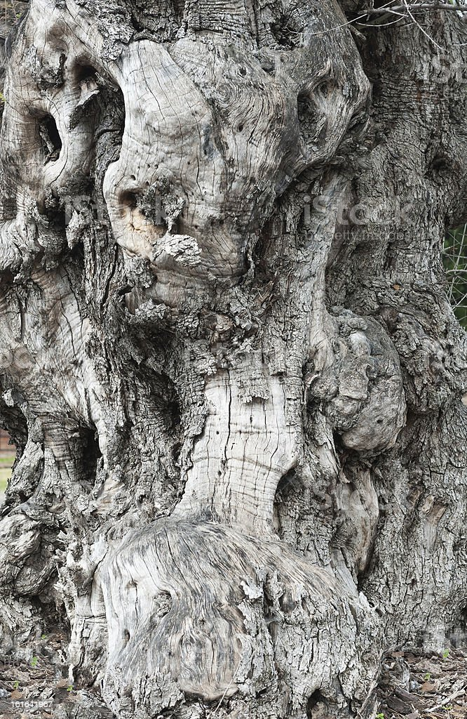 Trunk old olive tree royalty-free stock photo