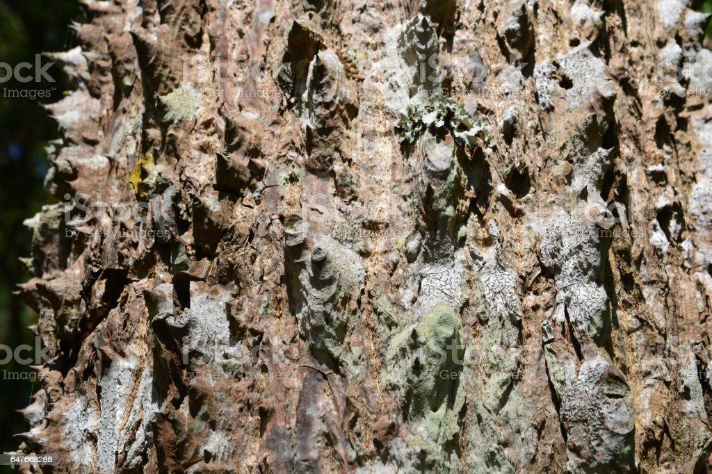 trunk thorny of bombax ceiba tree background stock photo