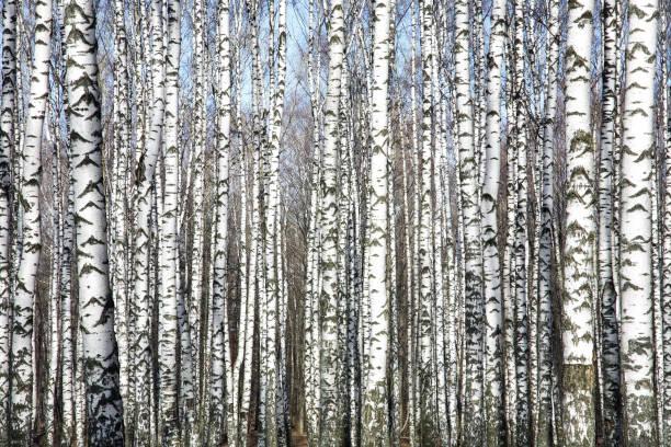 Baumstämme gegen den frühlingsblauen Himmel – Foto