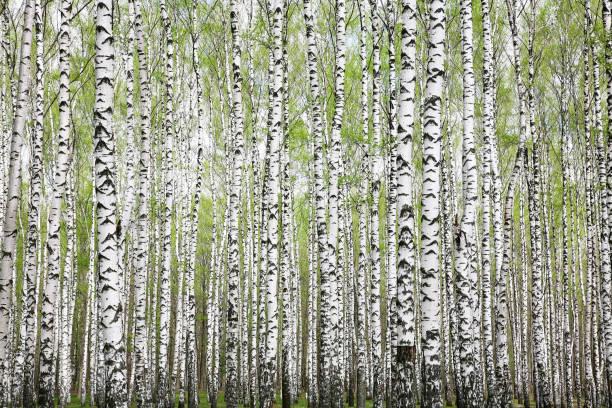 Baumstämme in einem Frühlingswald mit ersten Grüns – Foto