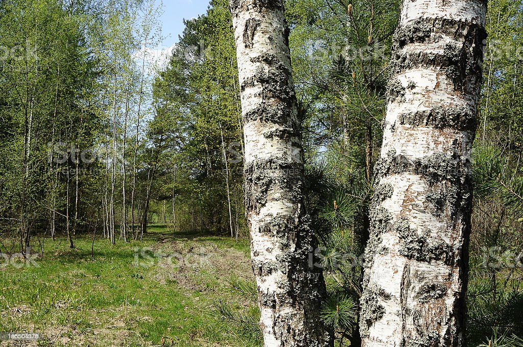 Trunks of birch trees royalty-free stock photo