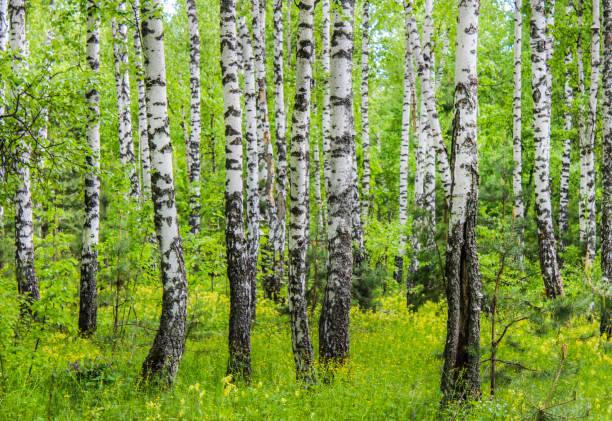 badehose der birken - baumgruppe stock-fotos und bilder