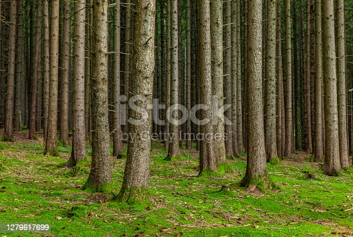istock Trunks of fir trees in coniferous forest with forest floor 1279617699