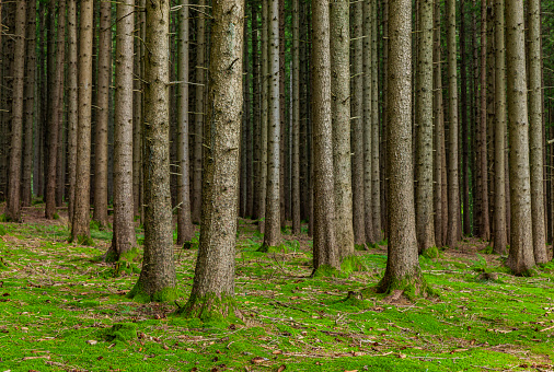 Trunks of fir trees in coniferous forest with forest floor