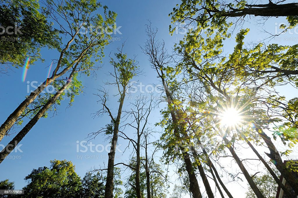 Trunks of high pine trees royalty-free stock photo