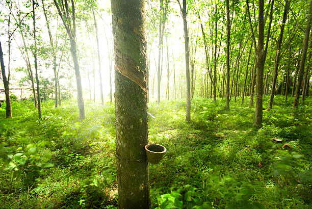 Trunks of rubber trees in a lush green forest with sun stock photo