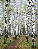 Trunks of spring birches with the first greens in a forest