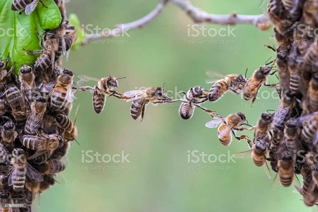 Trust in teamwork of bees bridging two bee swarm parts stock photo