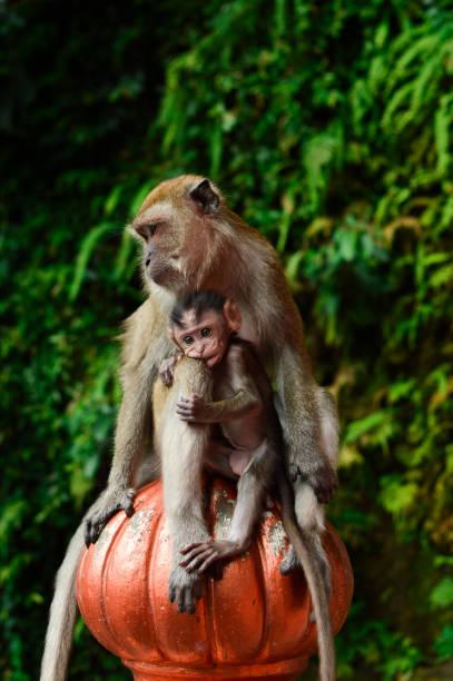 Trust Batu Caves' monkeys batu caves stock pictures, royalty-free photos & images