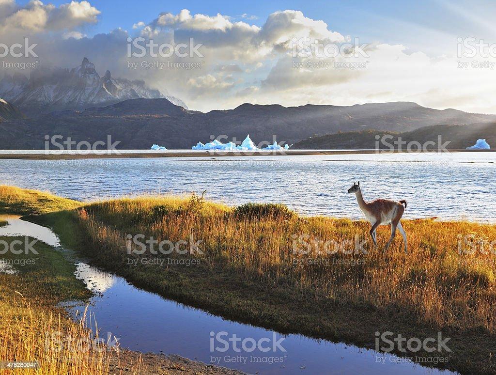 Trusting guanaco on the  Lake Grey. stock photo