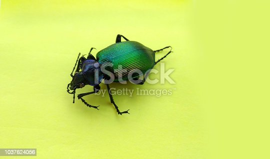 Trypocopris vernalis power colored background
