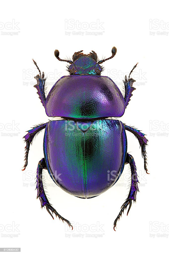 Trypocopris vernalis stock photo