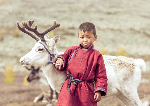 tsaatan kid in north Mongolian landscape with a baby reindeer