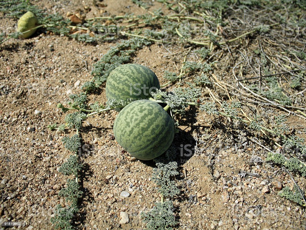tsamma melon desert plant stock photo