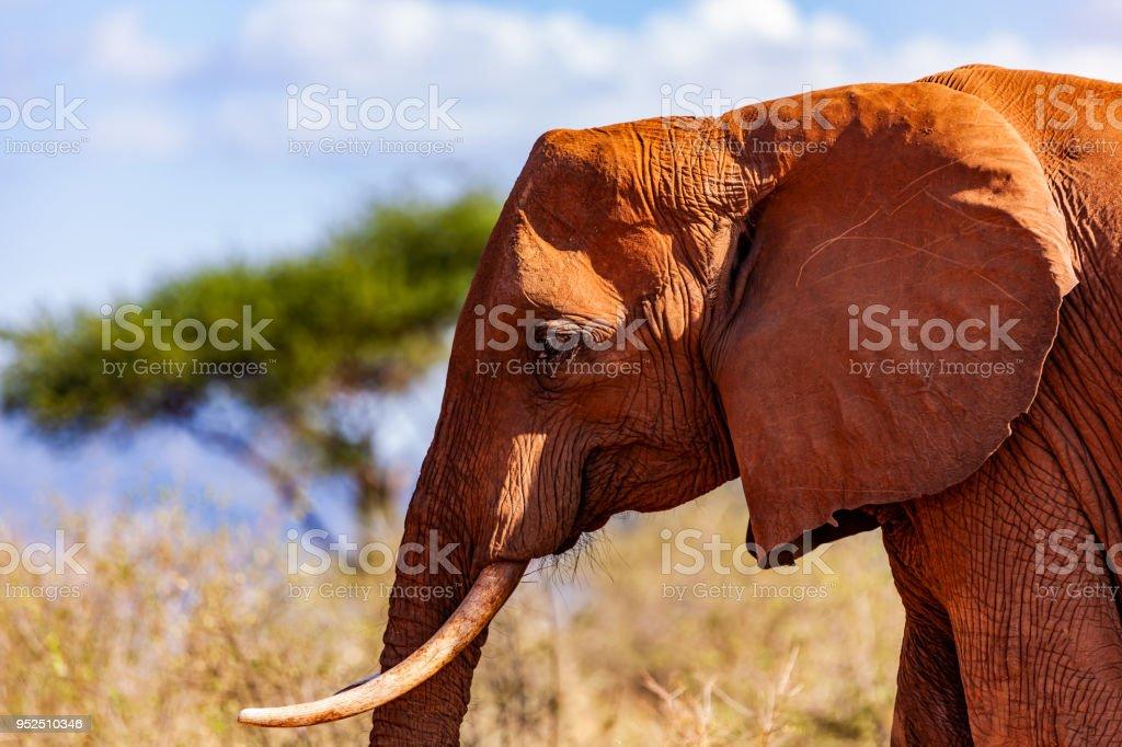 Tsavo Doğu Afrika kırmızı filler - akasya ağacı stok fotoğrafı