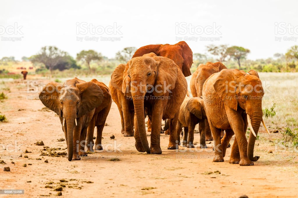 Tsavo East African Red Elephants - Attack stock photo